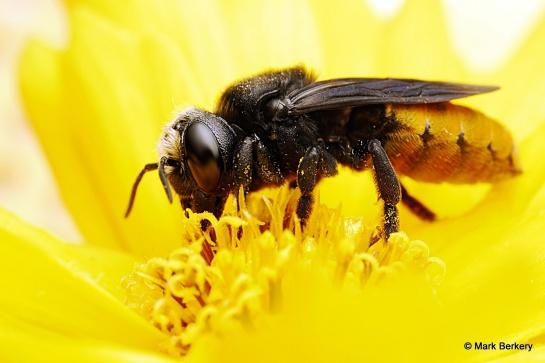 Feasting Bee - Unseen injury.